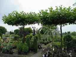 Parasolboom In Tuin : Vormbomen u2013 j. van de wiel