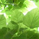 Catalpa bignonioides 'Nana' –  Bolvormige trompetboom