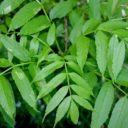 Fraxinus excelsior 'Nana'  –  Bolvormige Es