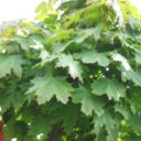 Acer plat. Globosum  –  Bolesdoorn