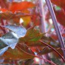 Acer platanoides Crimson Sentry  –  Roodbladige esdoorn