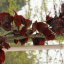 Fagus sylvatica `Dawijck Purple´ –  Rode zuilbeuk