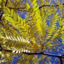 "Gleditsia triacanthos "" Sunburst""  –  Christusdoorn"