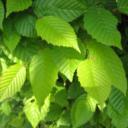 Carpinus betulus Frans Fontaine  –  Zuilhaagbeuk