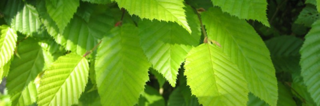 Carpinus betulus Frans Fontaine  –  Zuilhaagbeuk