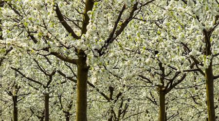 bomen_bloesem_tuintips_april - kopie