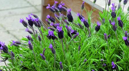 tuinplant_vd_maand_april_lavendel_stoechas