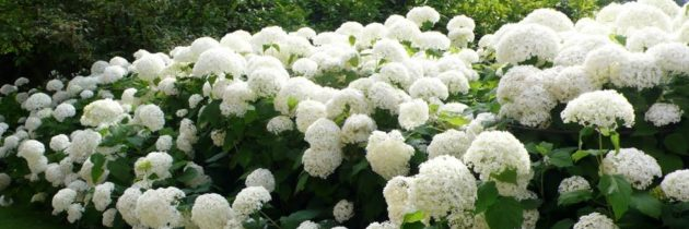Aanbieding: Alle Hortensia soorten 25% korting!