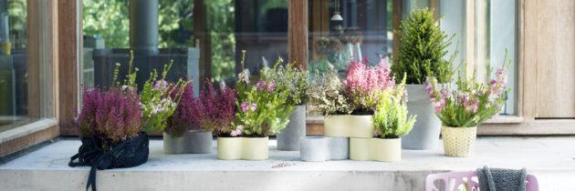 Winterheide: Tuinplant van de Maand januari
